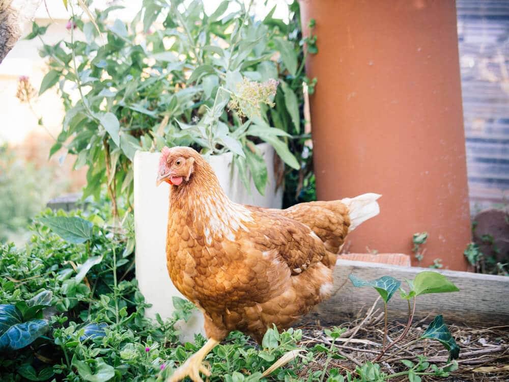 Meet Ginger, our Golden Sex Link