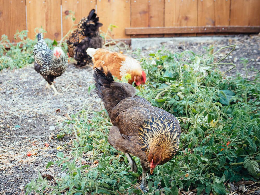How to support a healthy backyard flock integration