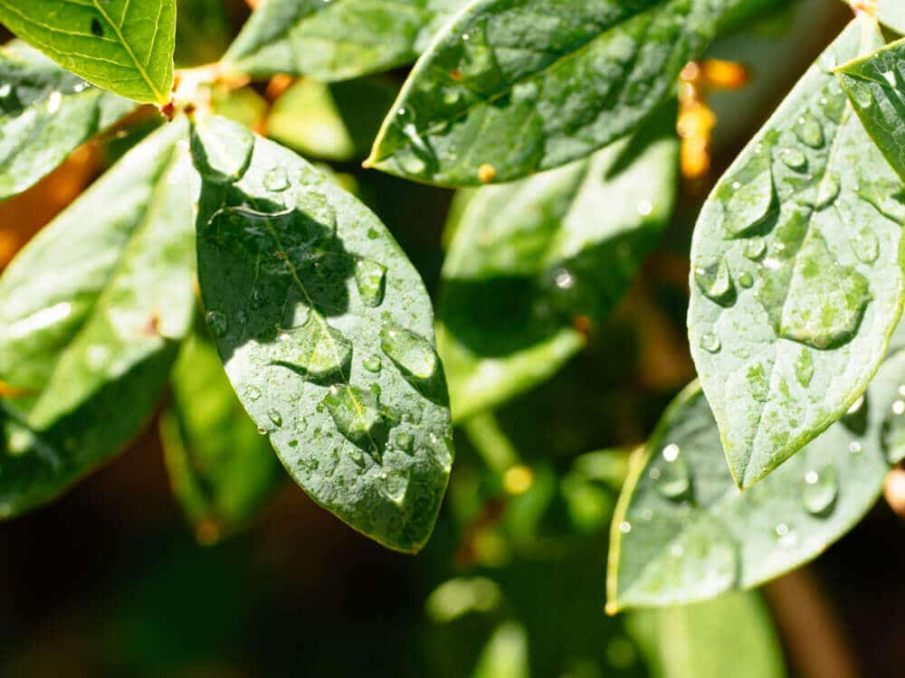 Leaf scorch caused by midday watering or water droplets is a gardening myth