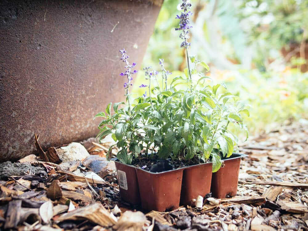 Harden off transplants and plant them in dappled or afternoon shade