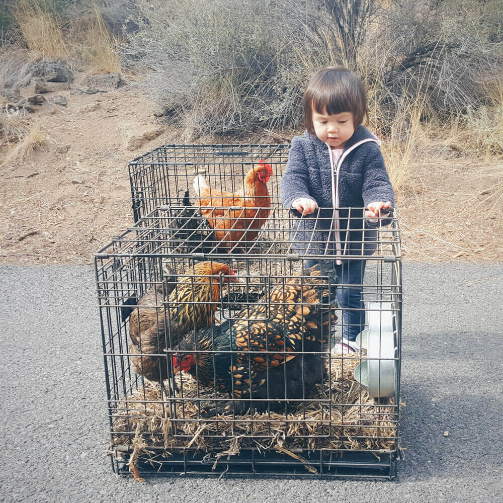 The chickens survived the move