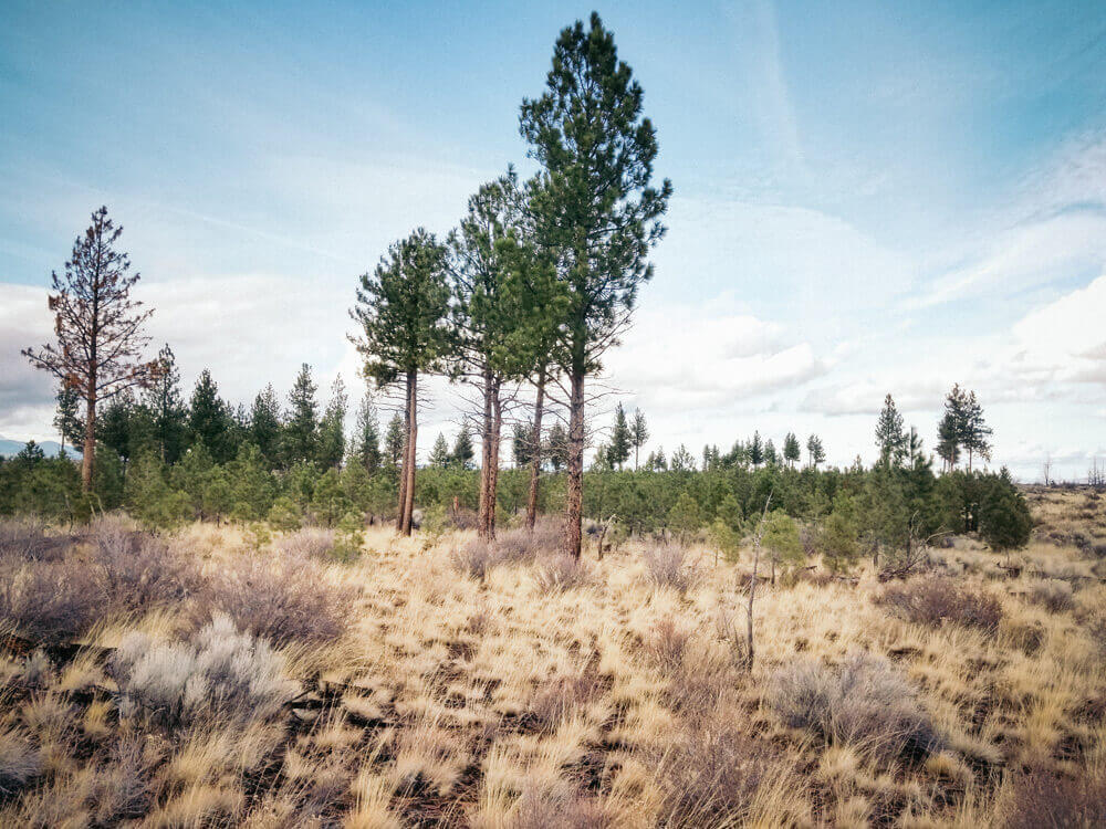 Pine forest in the Central Oregon high desert