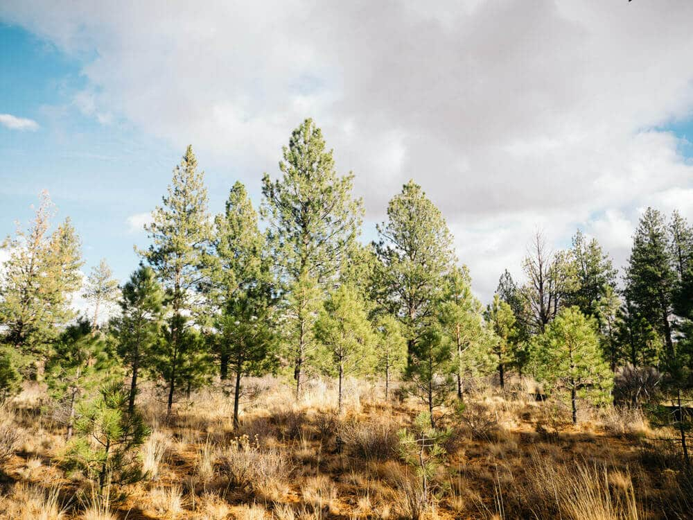 Pine trees of all shapes and sizes in Deschutes National Forest