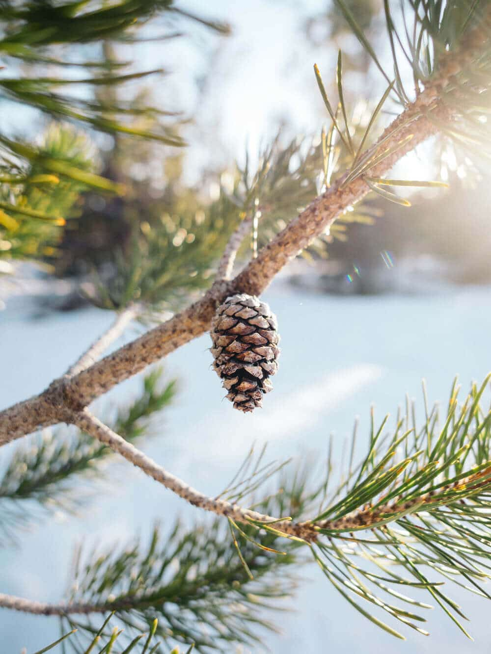 Pinecone on a sunny winter day