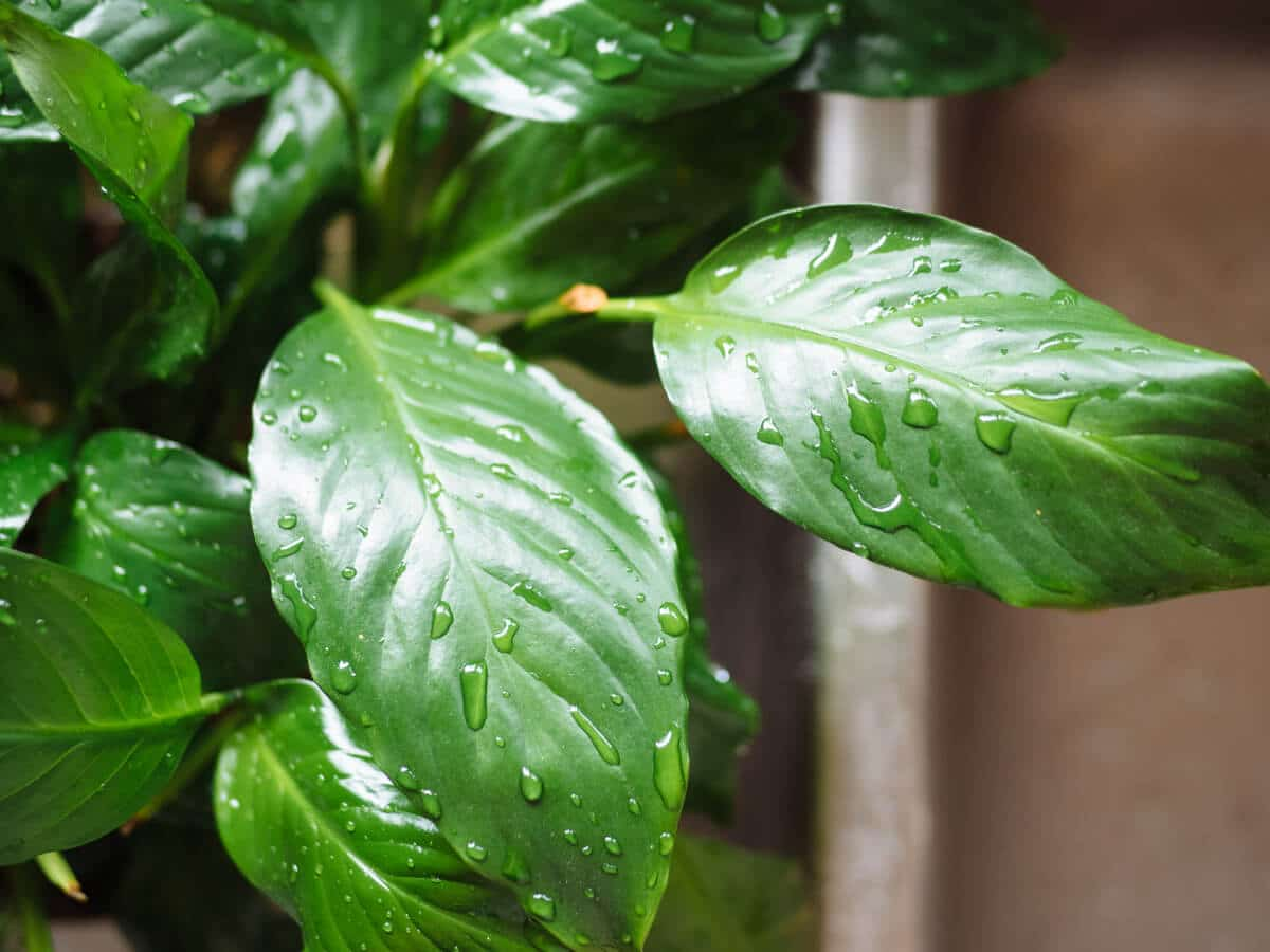 Rinse your houseplants in the sink or bathtub once a season