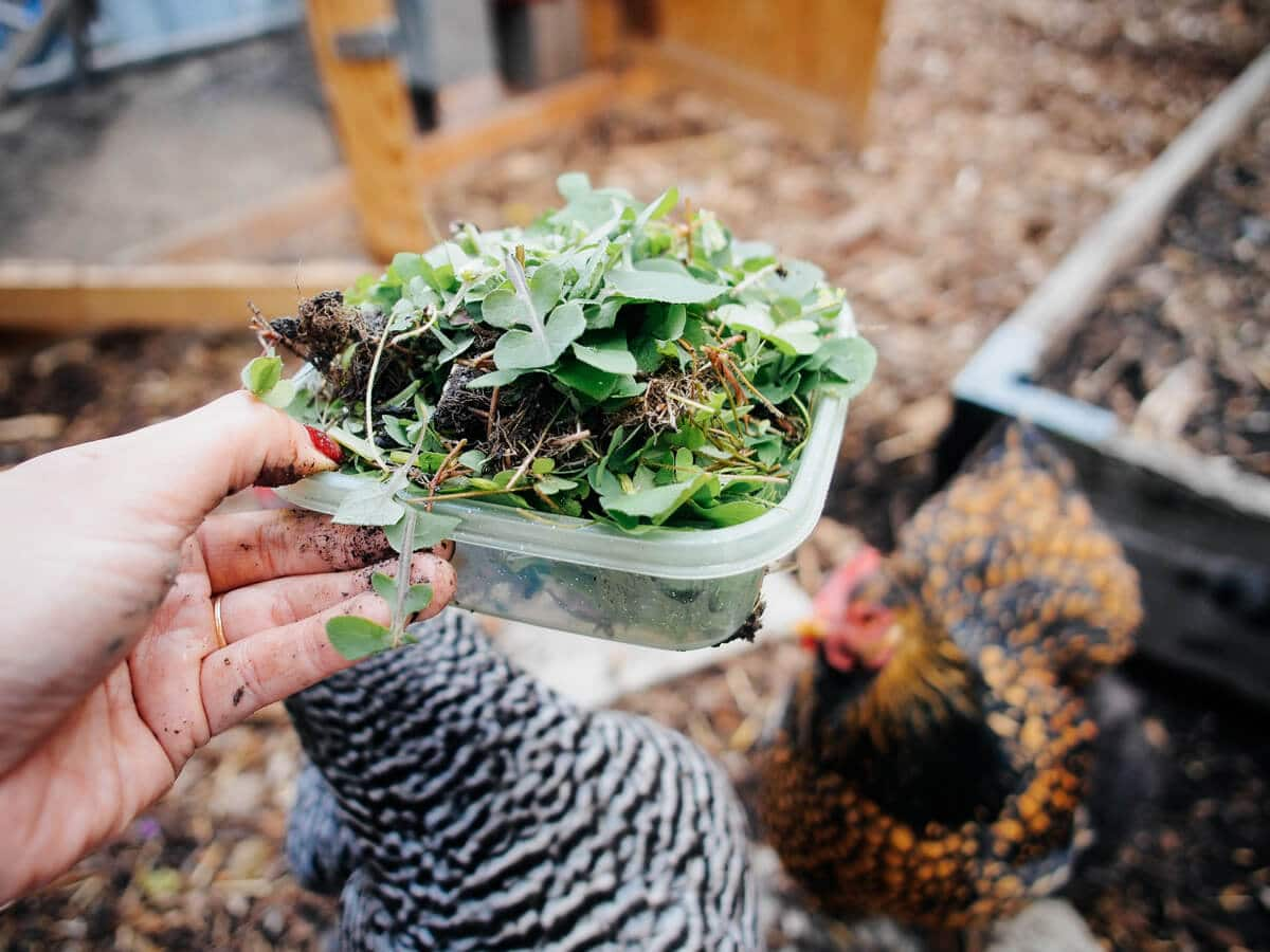 Weeds like dandelions, clover, and oxalis are free and nutritious greens for chickens