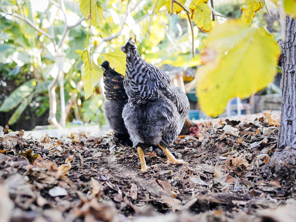 Chickens digging through leaf piles and layers of mulch for grubs