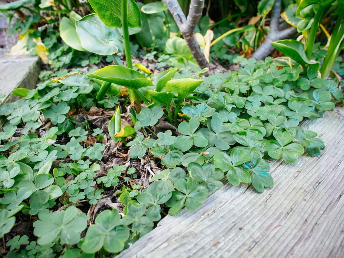Weeds such as oxalis (wood sorrel) are highly nutritious for chickens