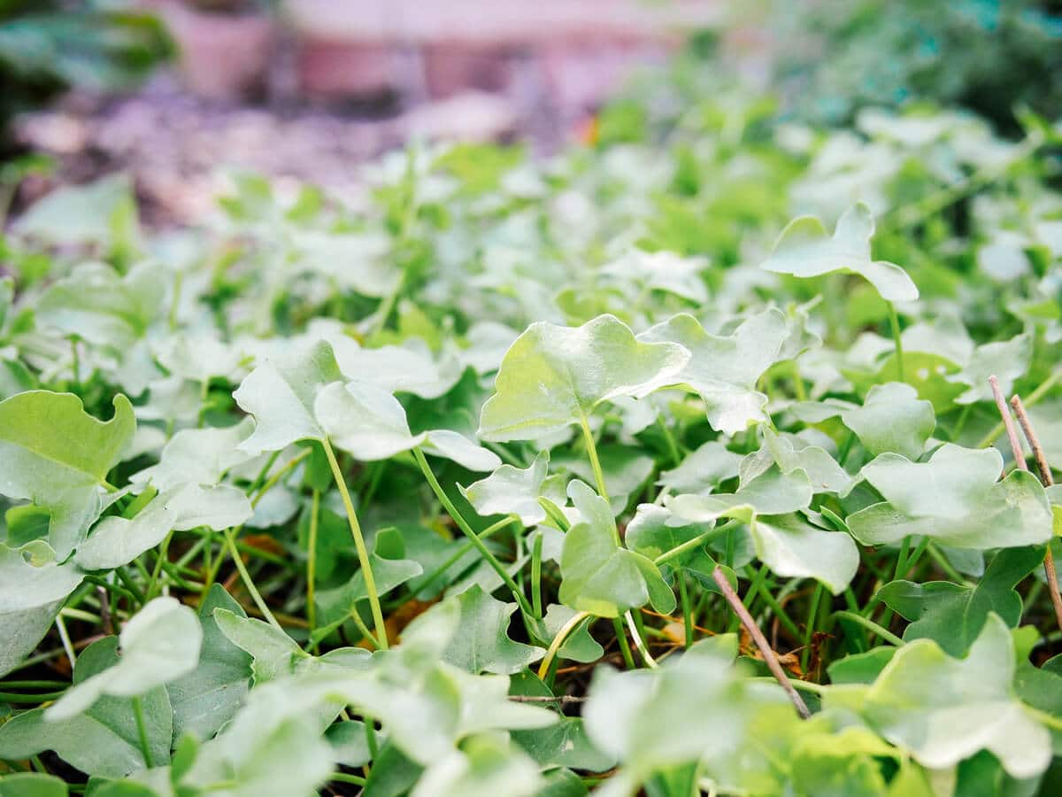 True French sorrel grows low to the ground to form an edible ground cover