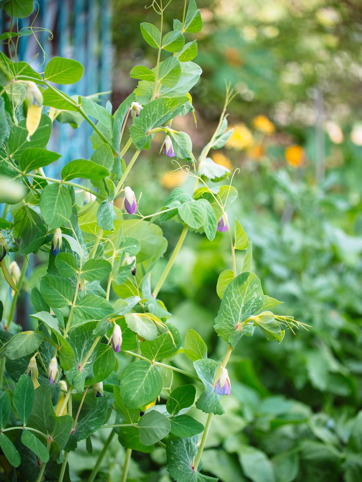 Snow pea plants climbing on a trellis