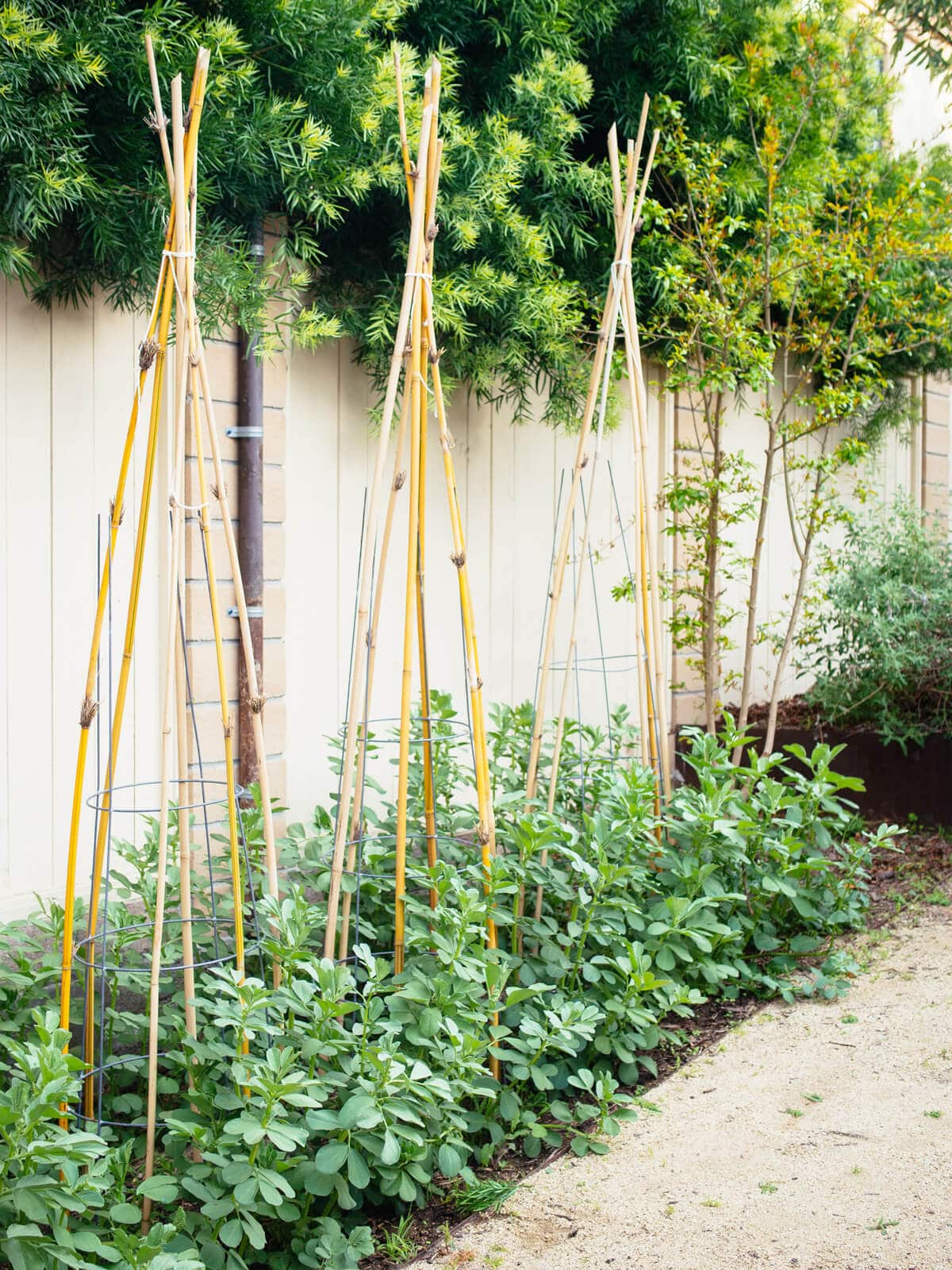 Fava bean plants supported with bamboo teepees