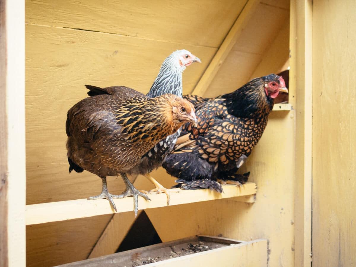 Hens roosing in their coop