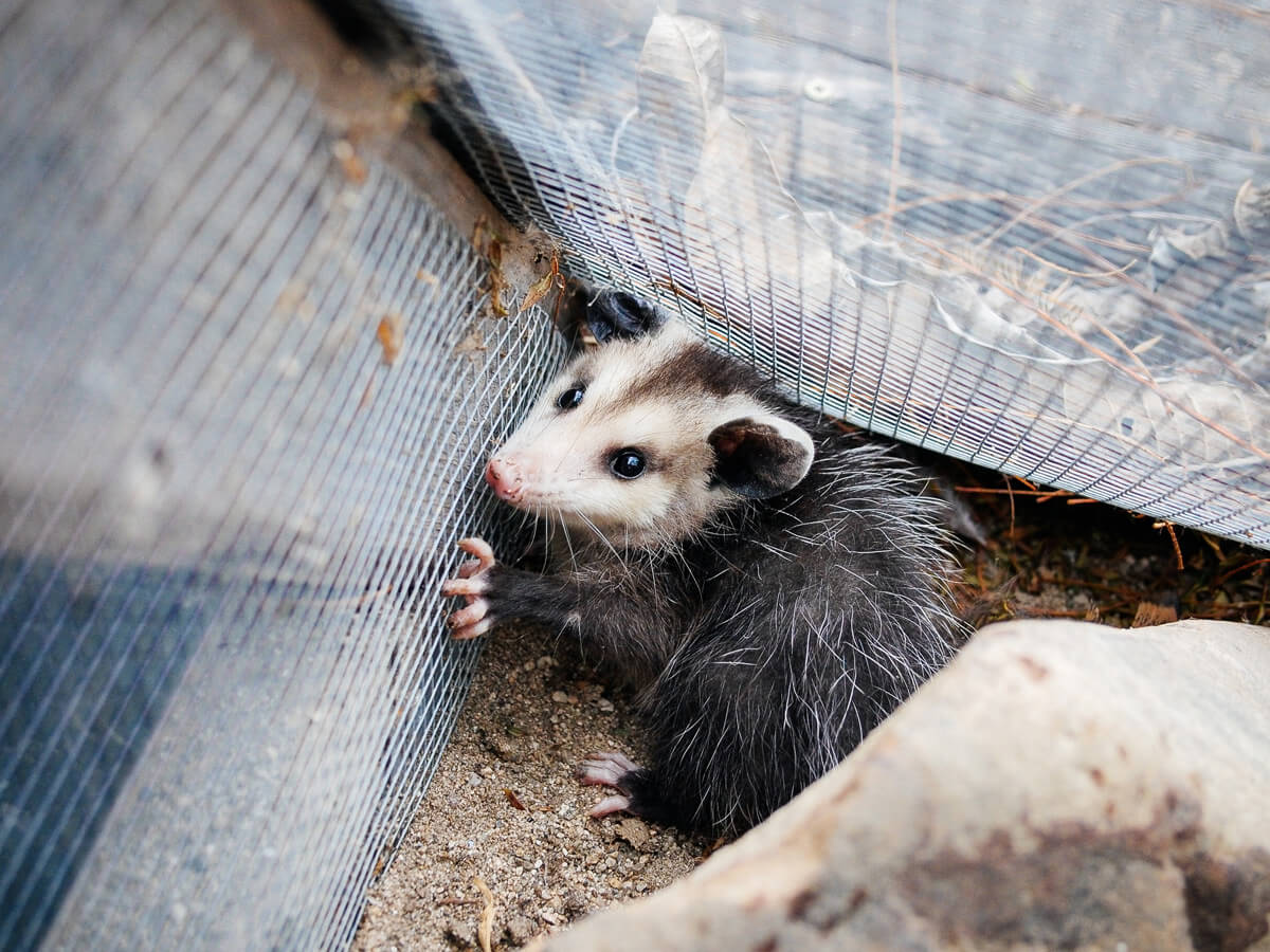 Opossums can find their way into your coop or run