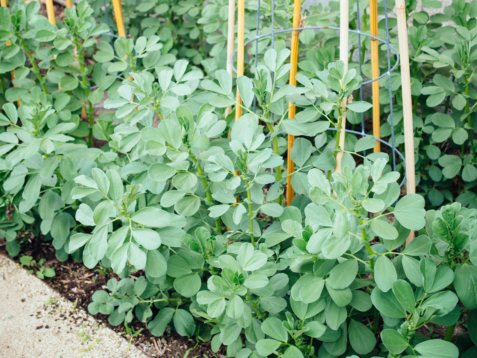 Plant fava beans as a cover crop
