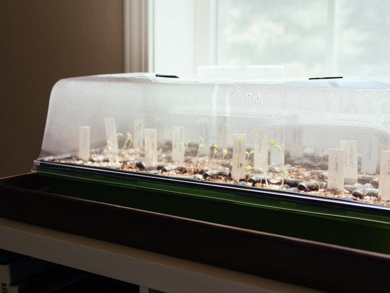 Seedlings gaining warmth from their mini greenhouse by the window
