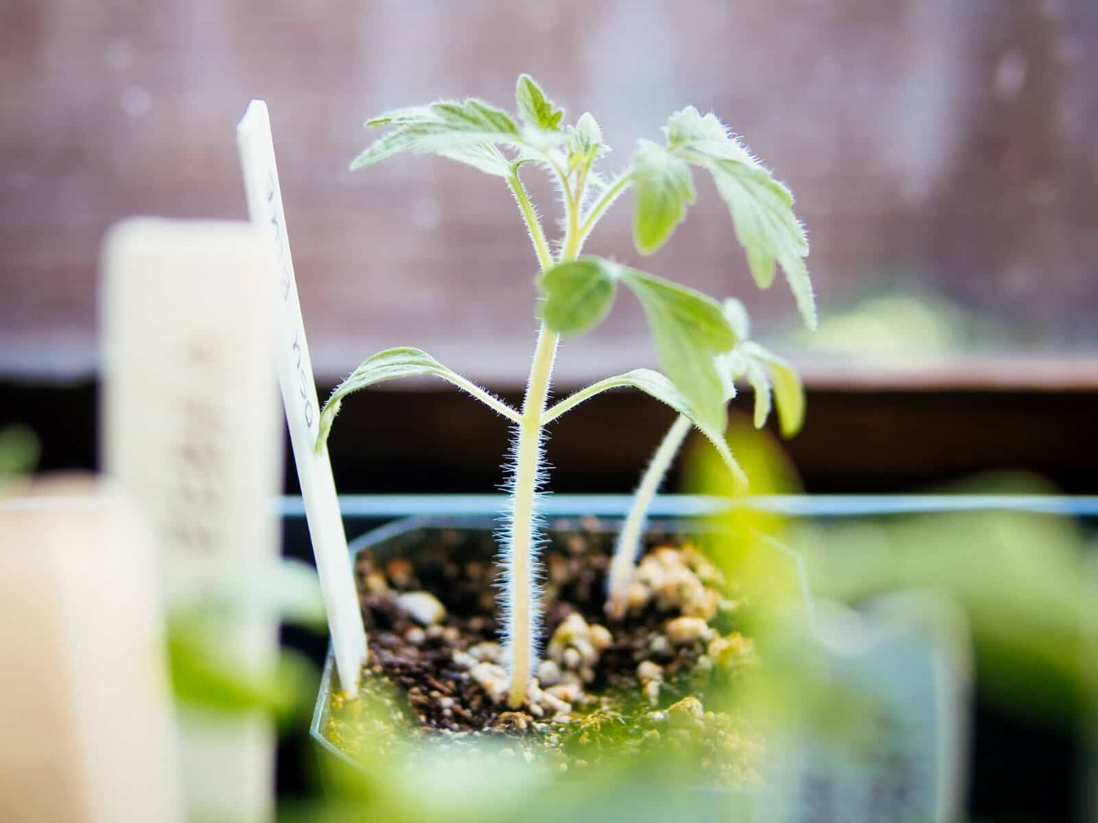 Wait for seedlings to develop their first true leaves before transplanting
