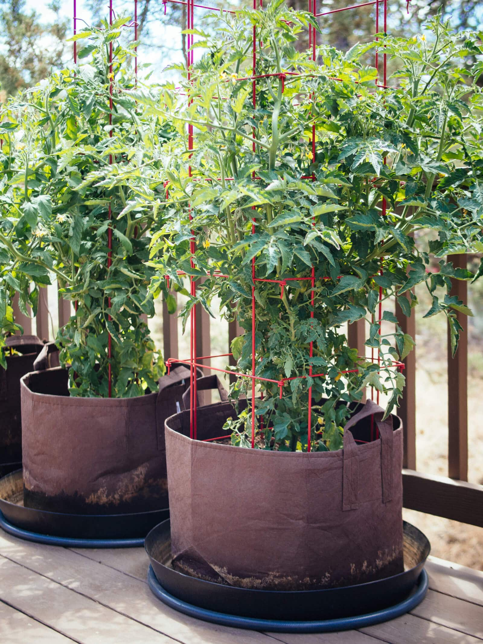 Grow tomato plants in 15-gallon containers or larger