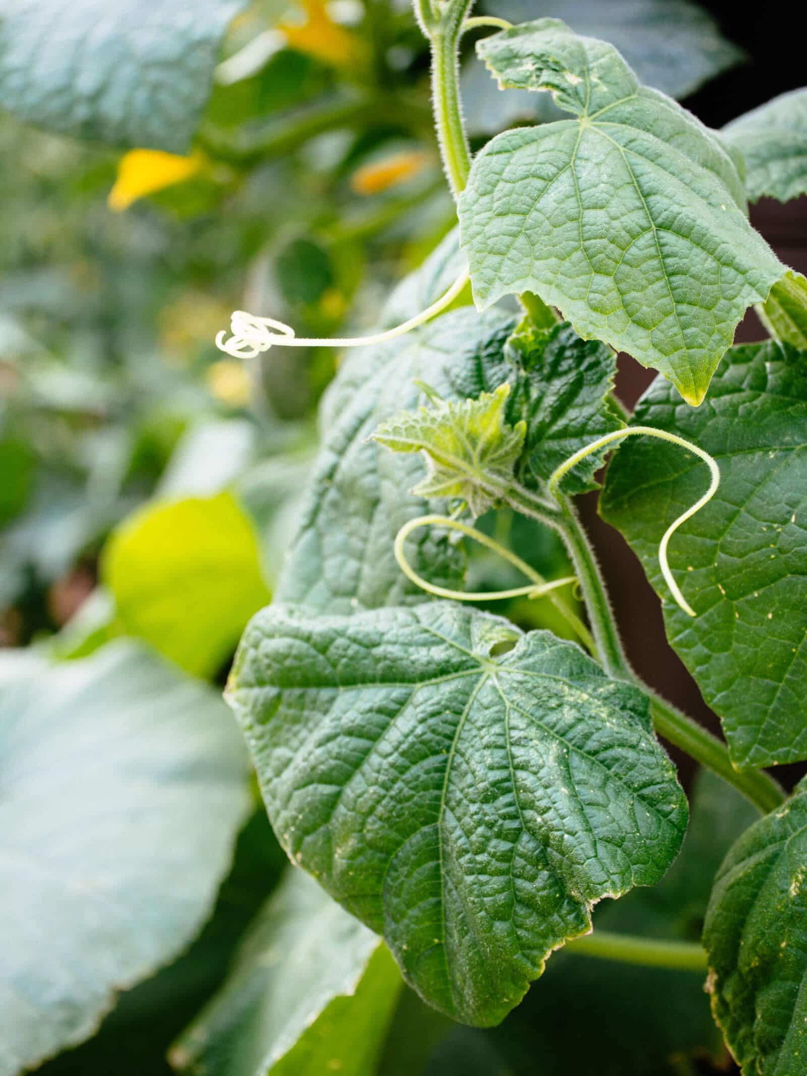 Cucumber roots grow deep as well as laterally