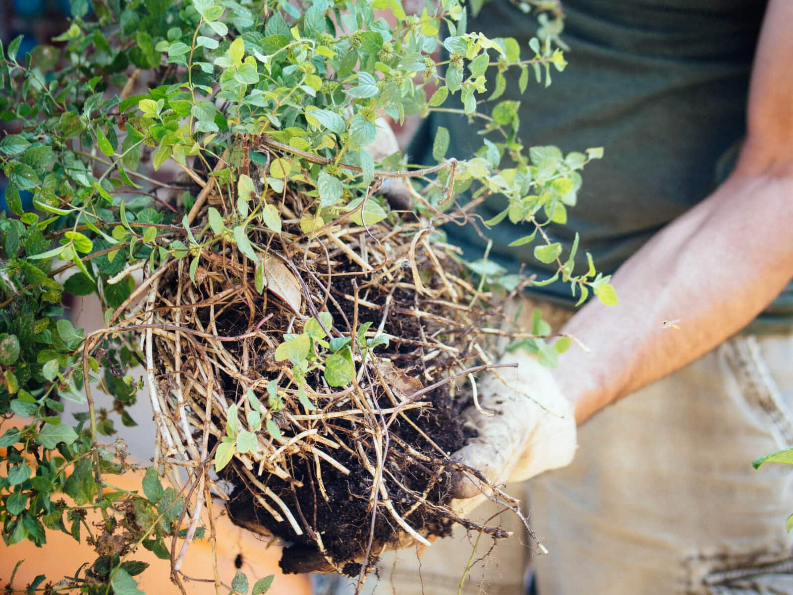 Mint is a shallow-rooted plant