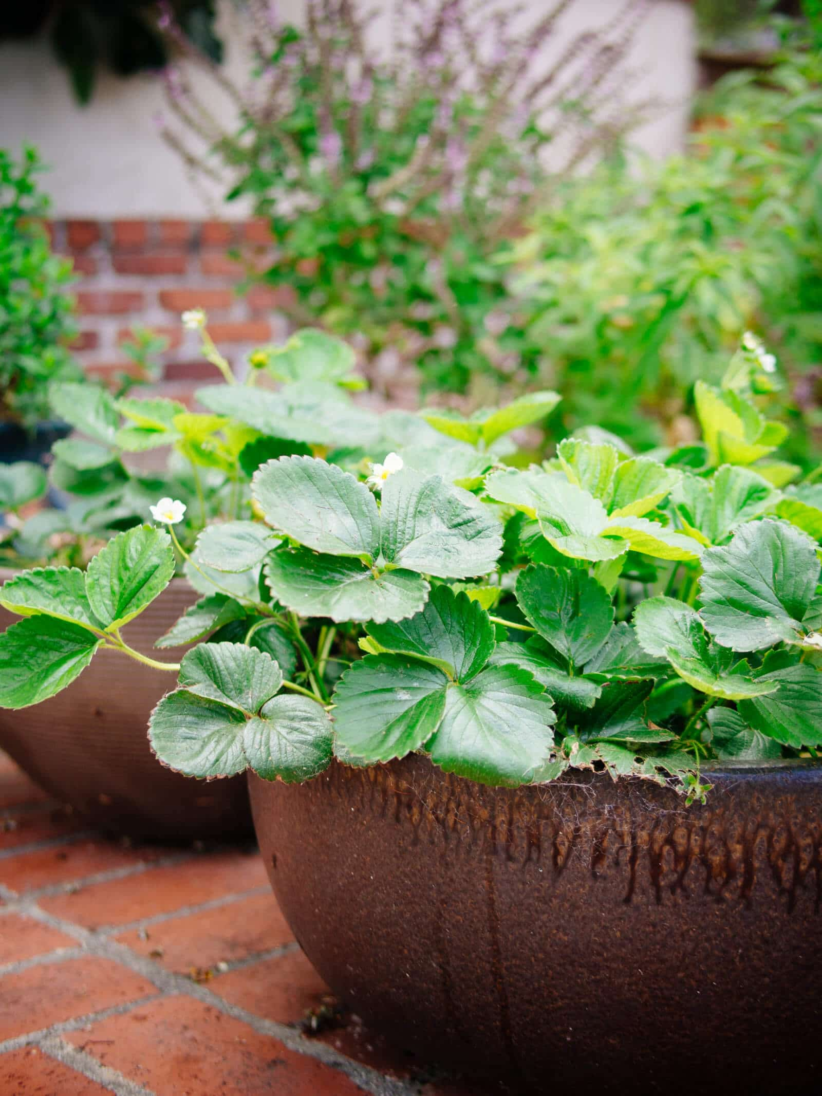 Strawberry plants do well in wide, shallow containers