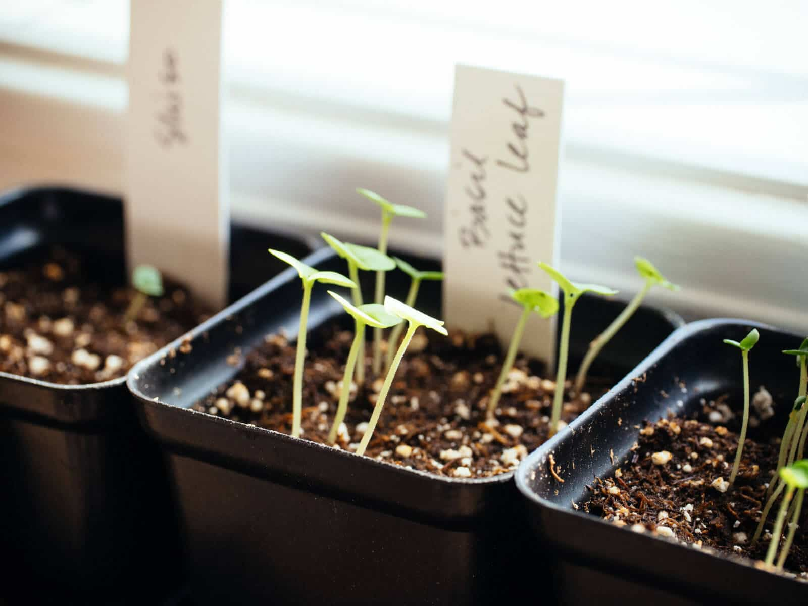 Seedlings started indoors before the last frost
