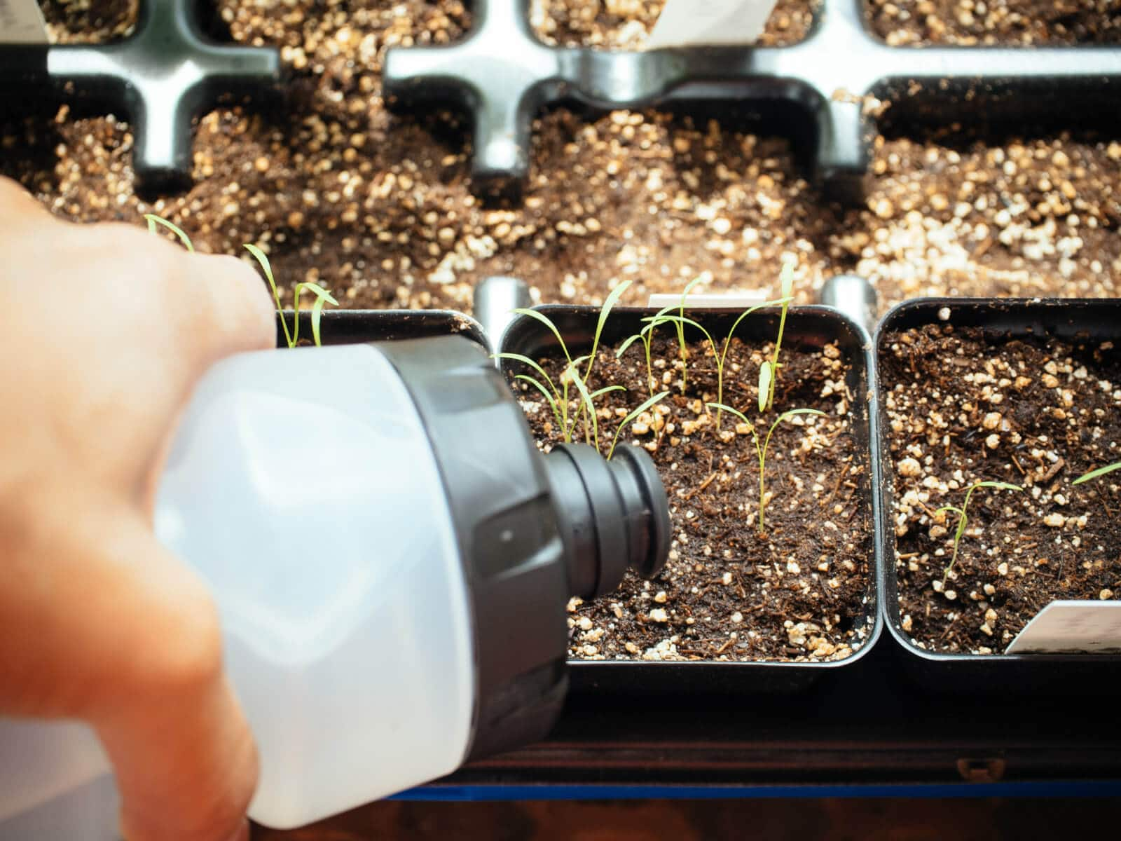 Watering newly sprouted seedlings in seedling trays