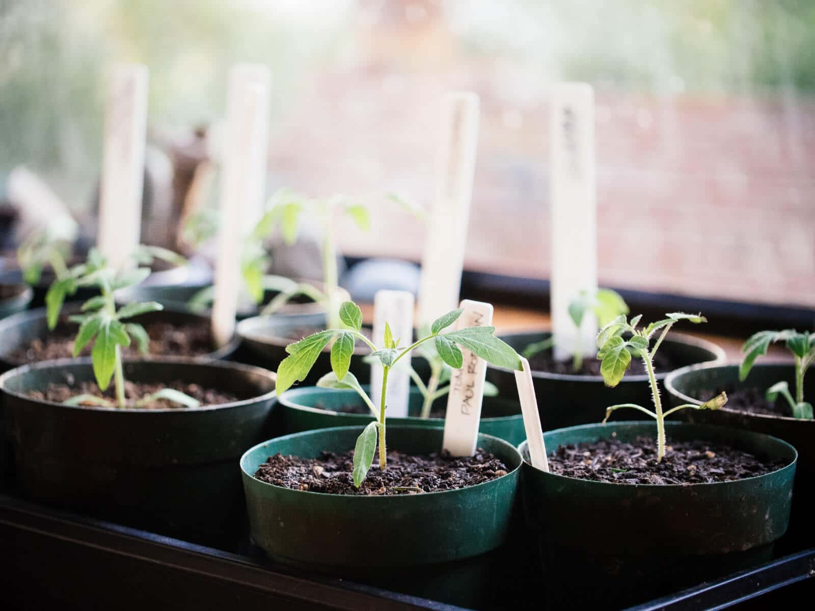 Start your tomato seeds early