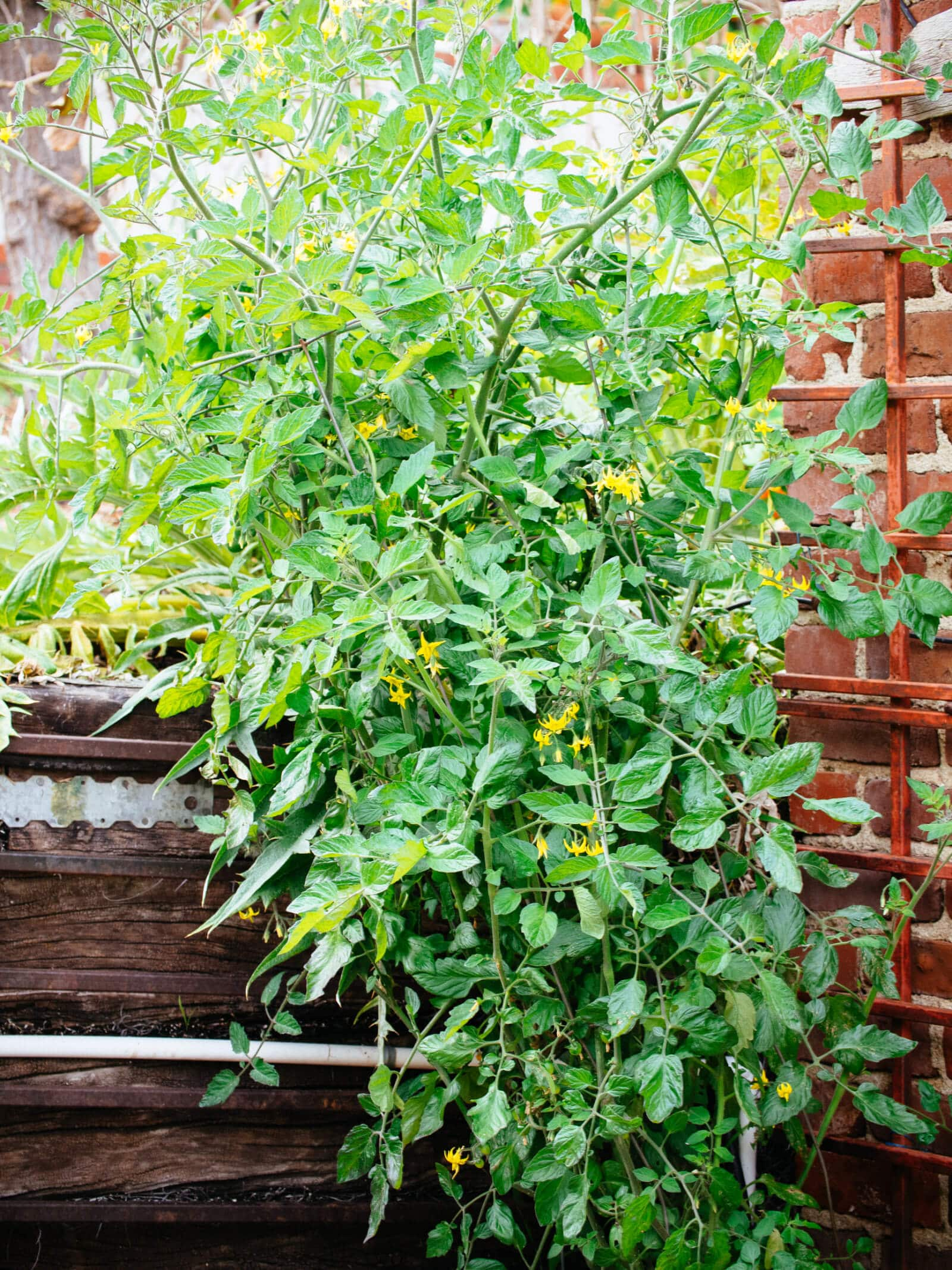 Choose a location with full sun for your tomato plants