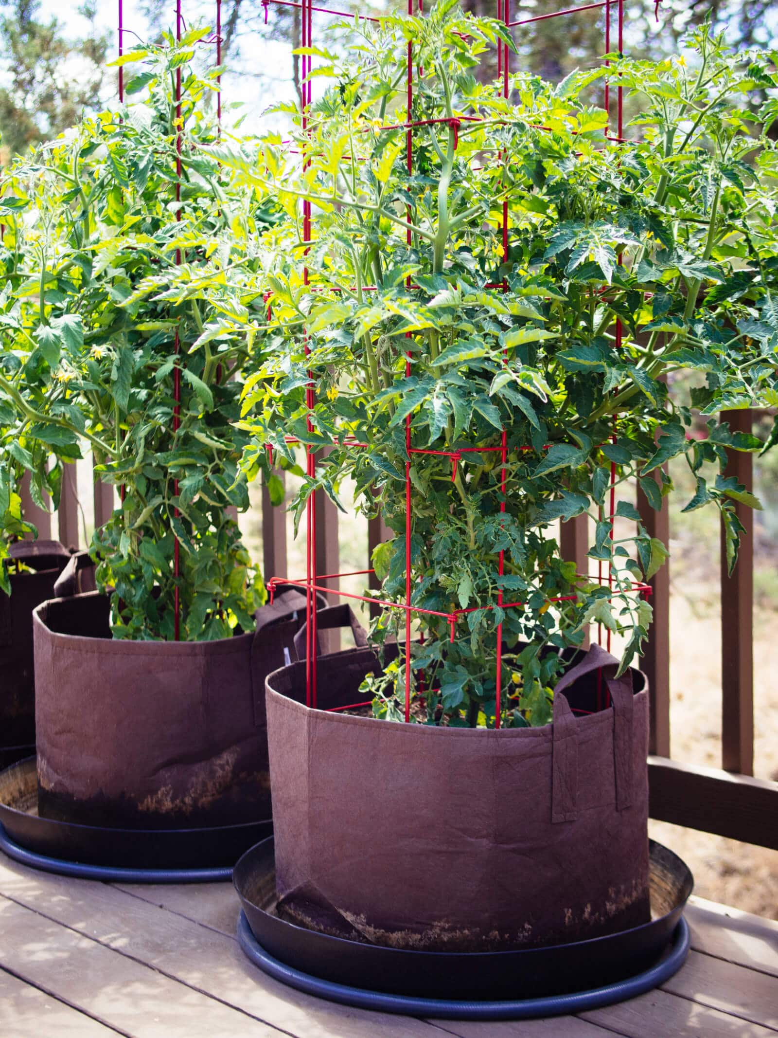 Allow ample space for growing your tomato plants