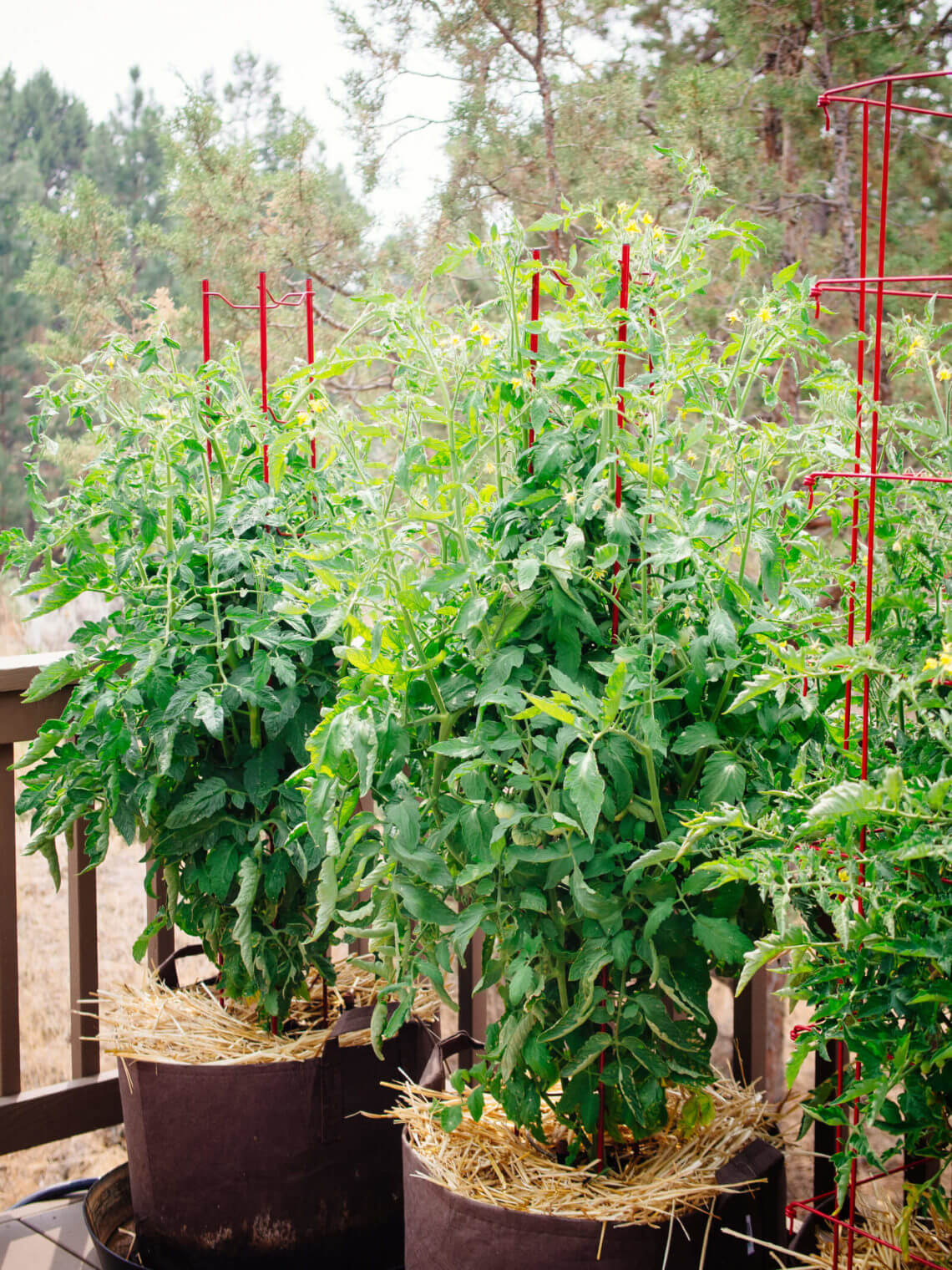 How to grow tomatoes in pots like a gardening pro