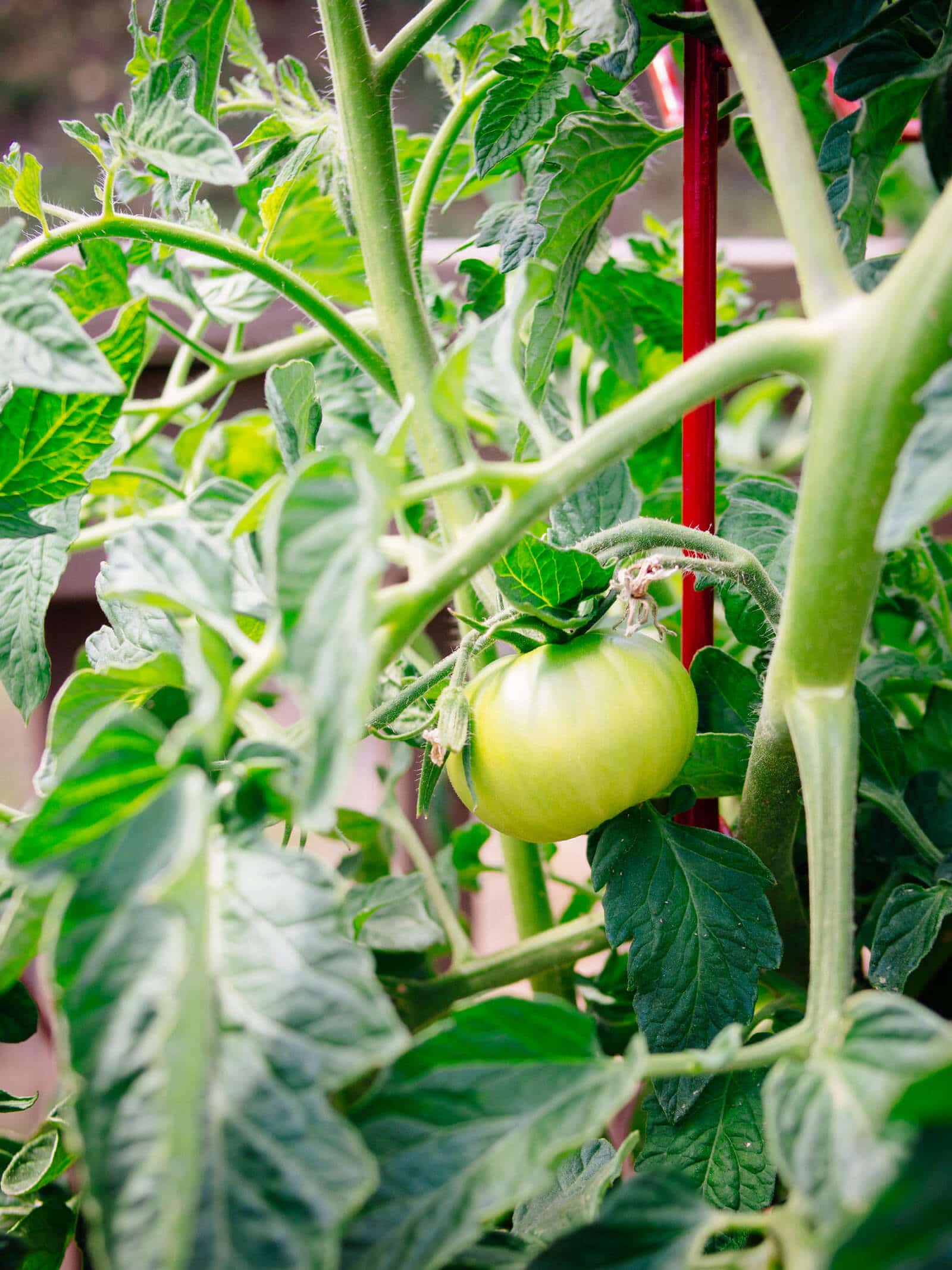 Grow indeterminate tomato plants in pots