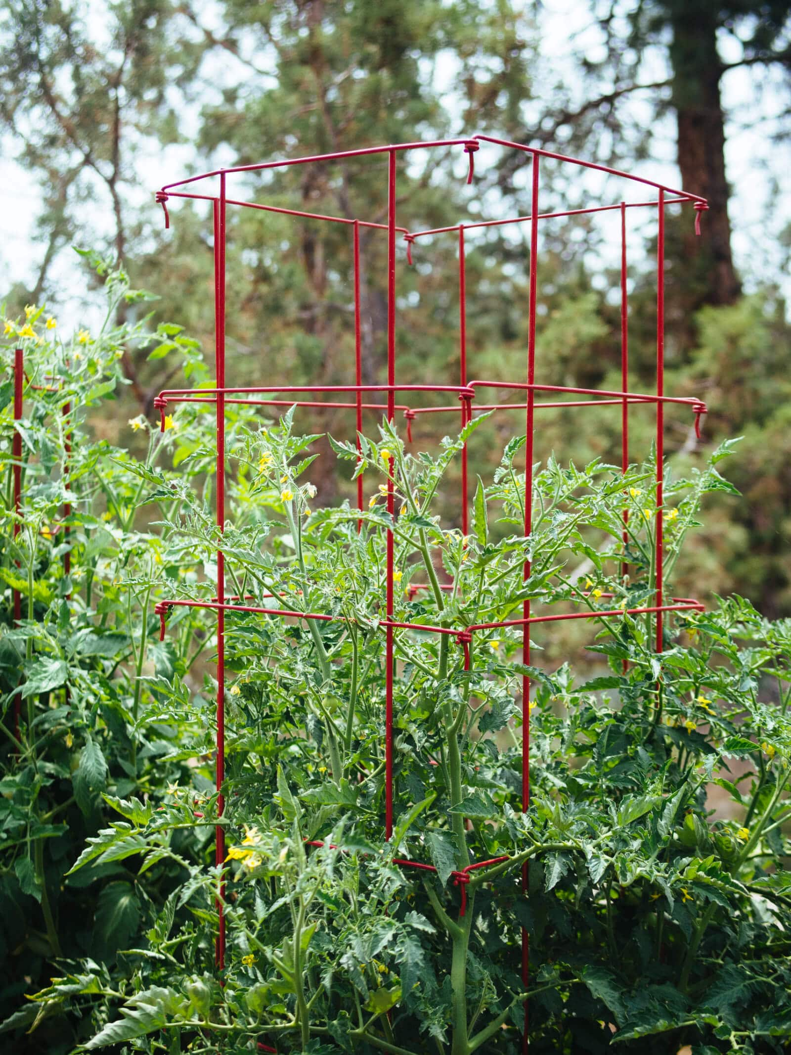 Heavy-gauge square cages help contain and support tomato plants in pots