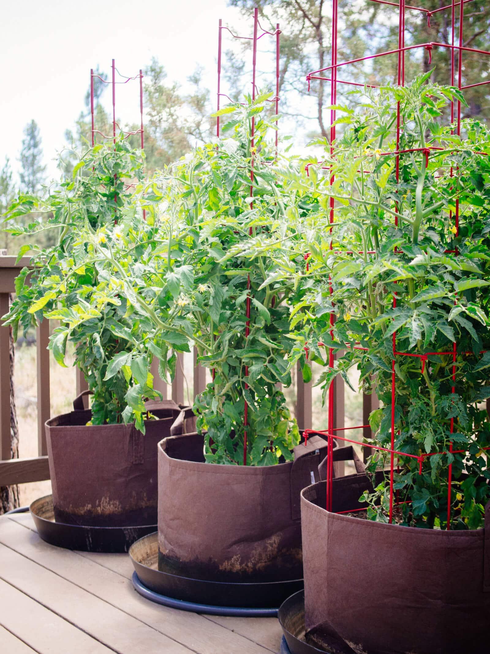 Vigorous tomato plants in pots