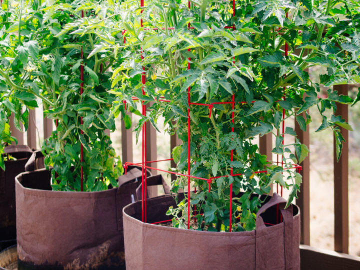 How To Grow Tomatoes In Pots Even Without A Garden