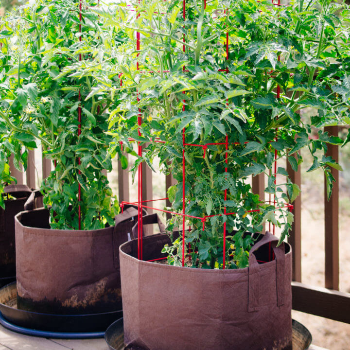 Growing indeterminate tomato plants in pots