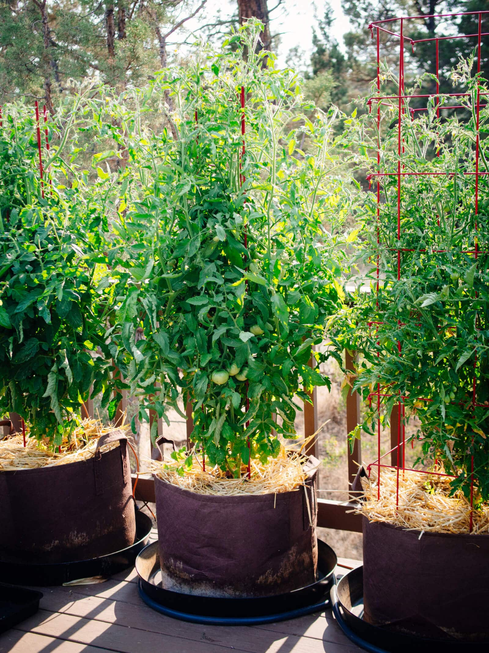 Tomato plants thriving in 20-gallon containers