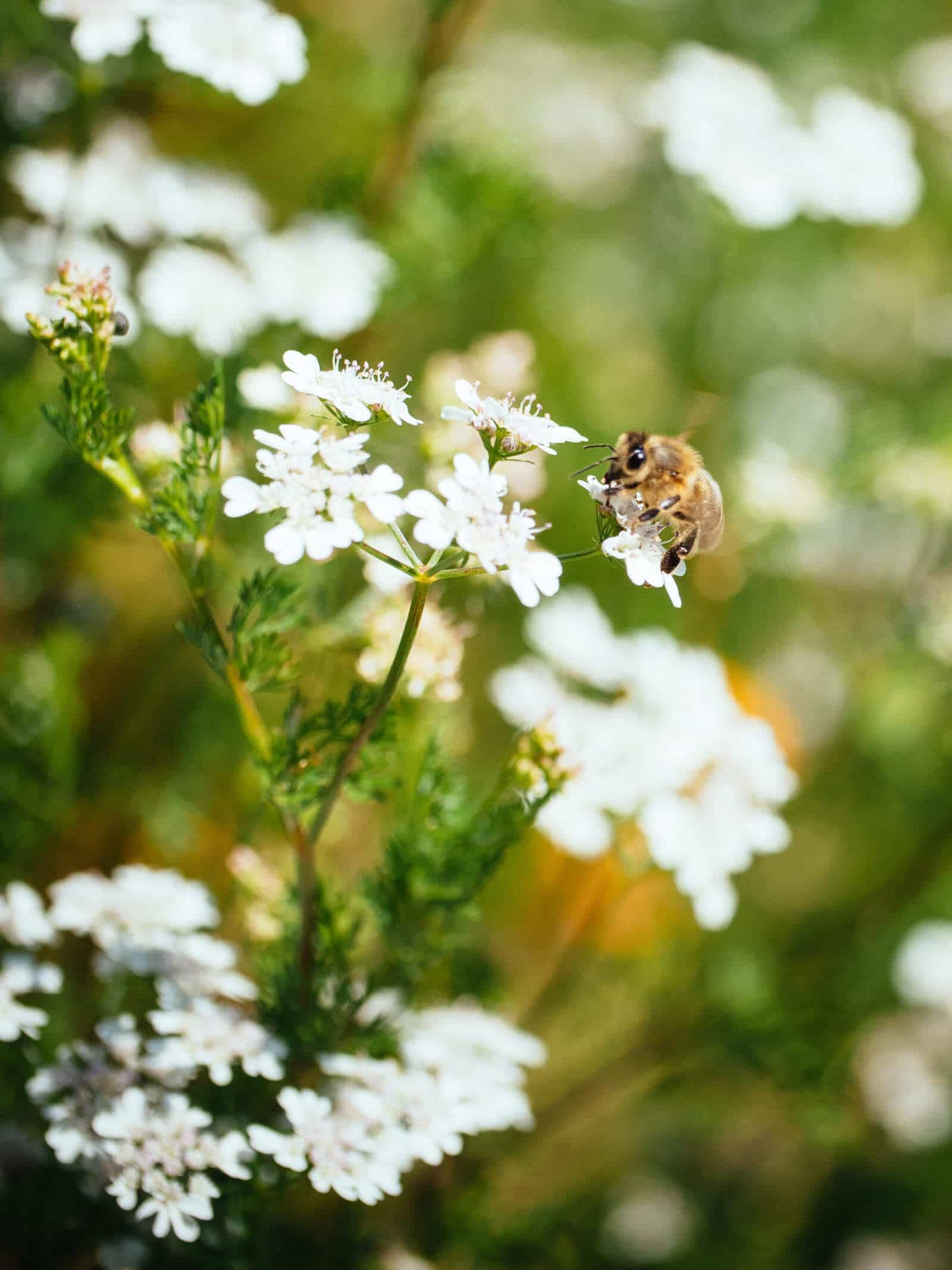Bee on flowering cilantro