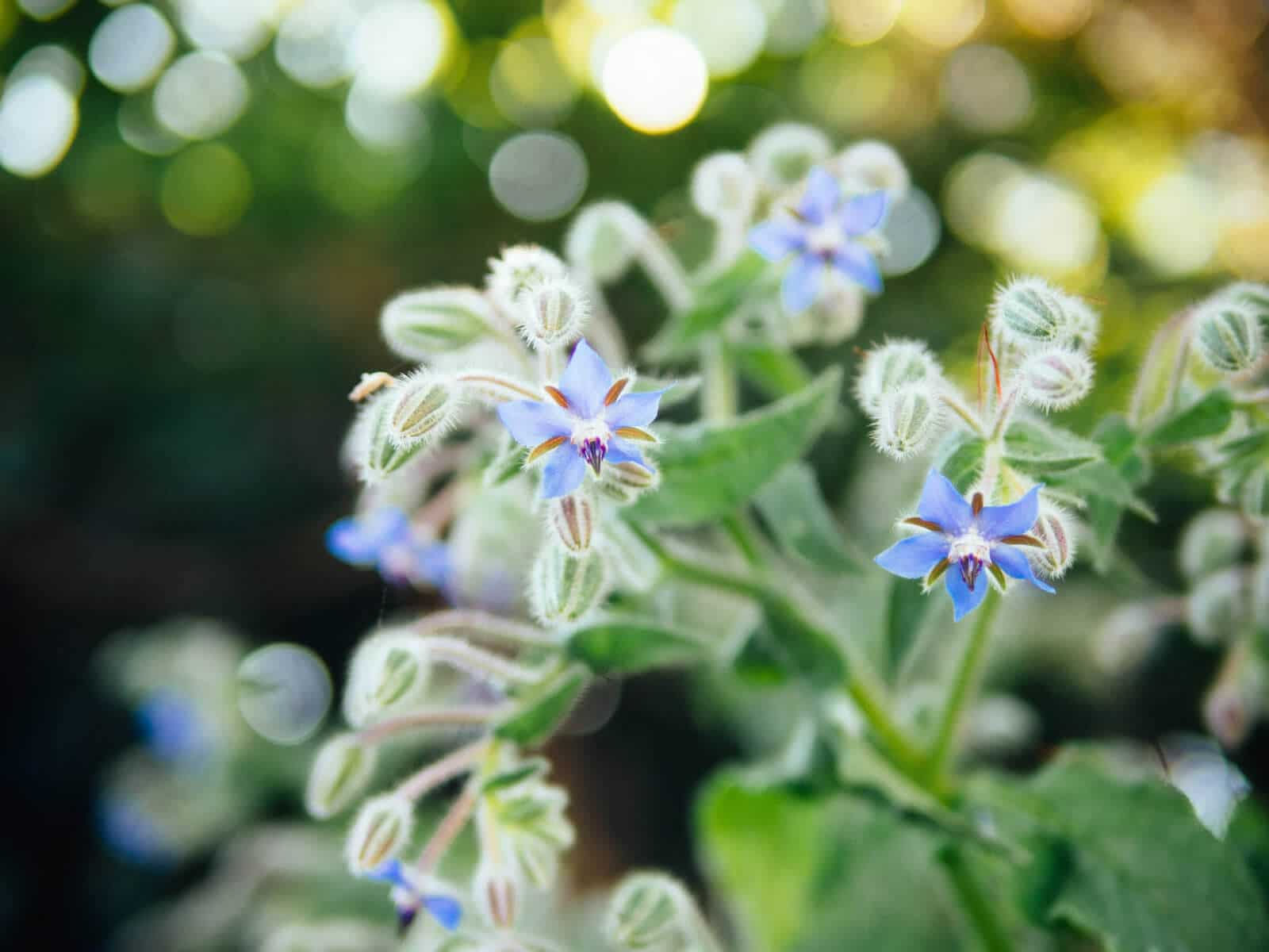 Star-shaped borage flowers