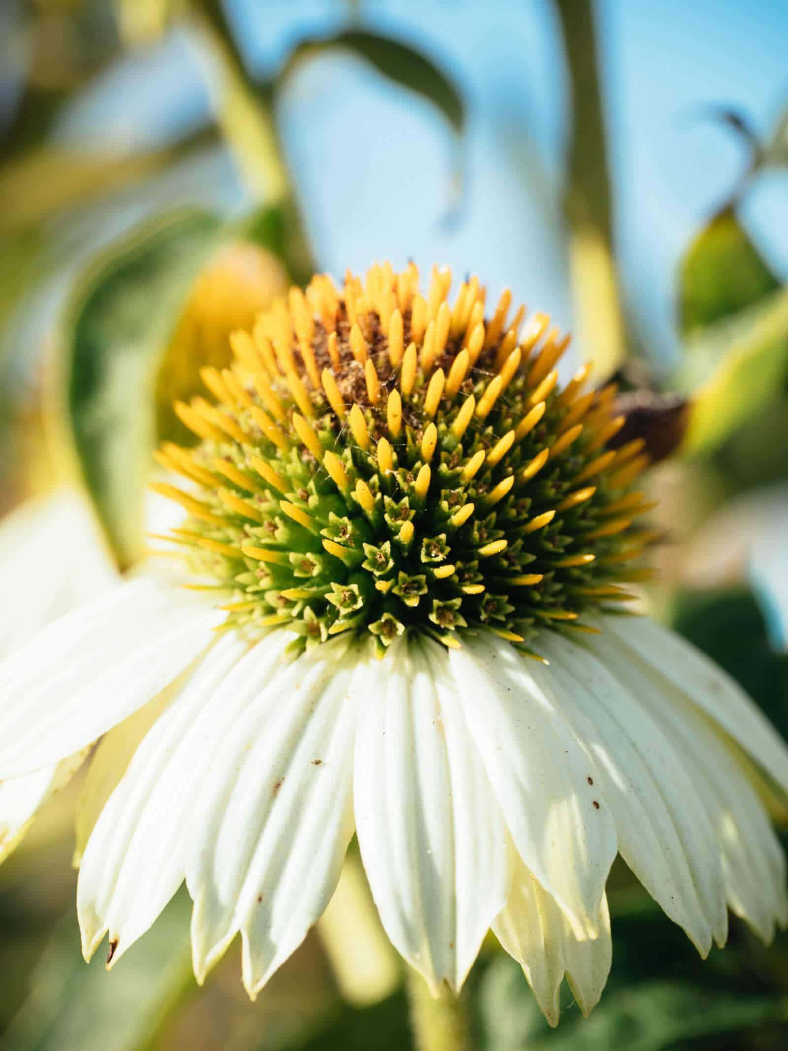 White echinacea flower