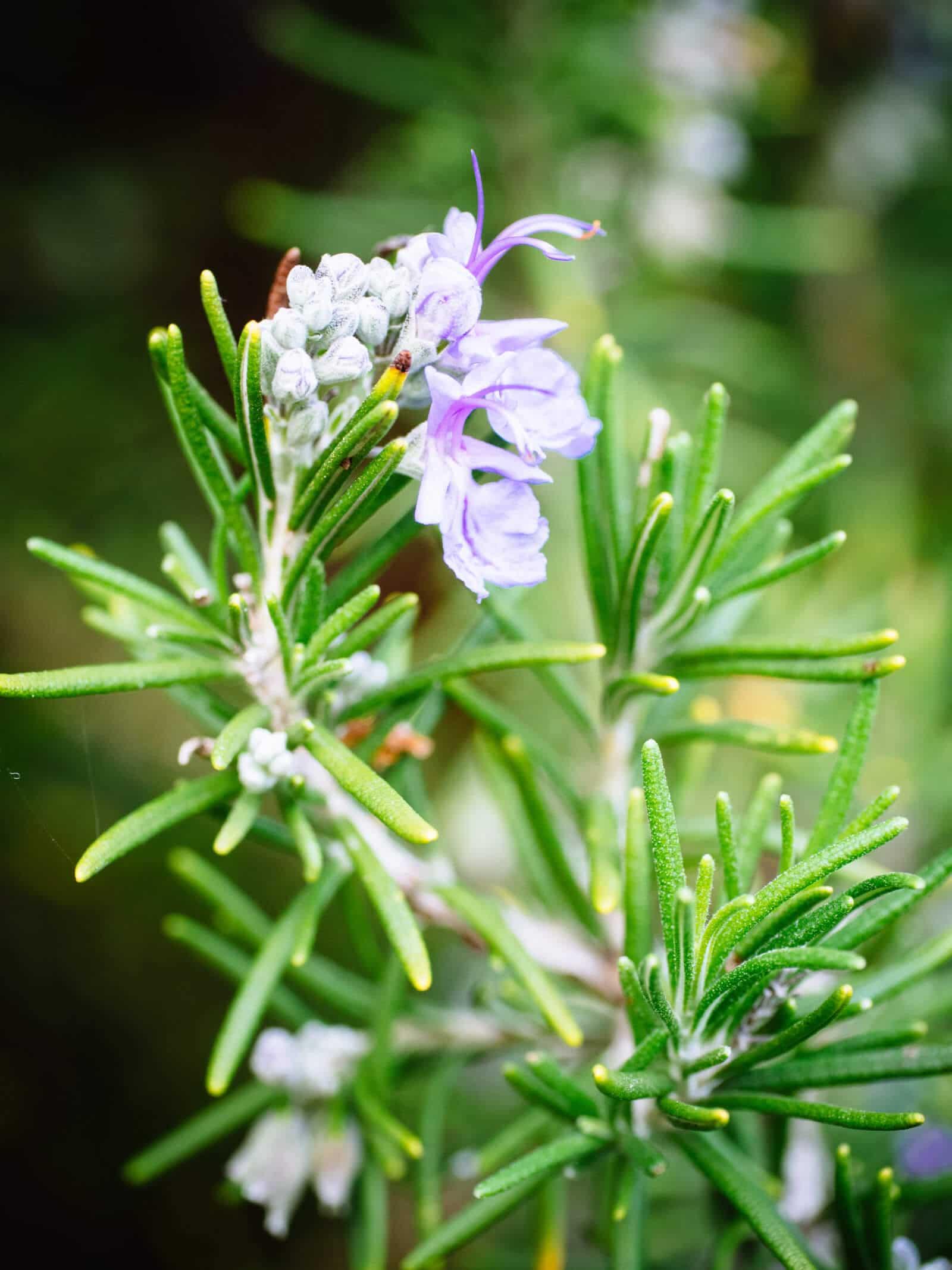 Flowering rosemary herb