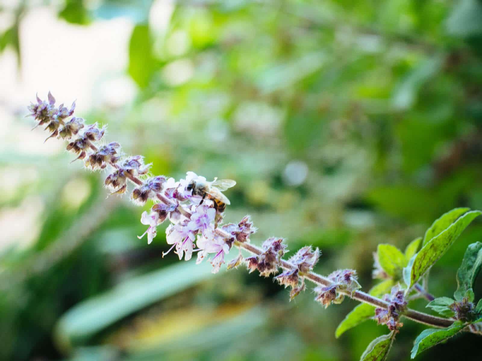 Basil blooms