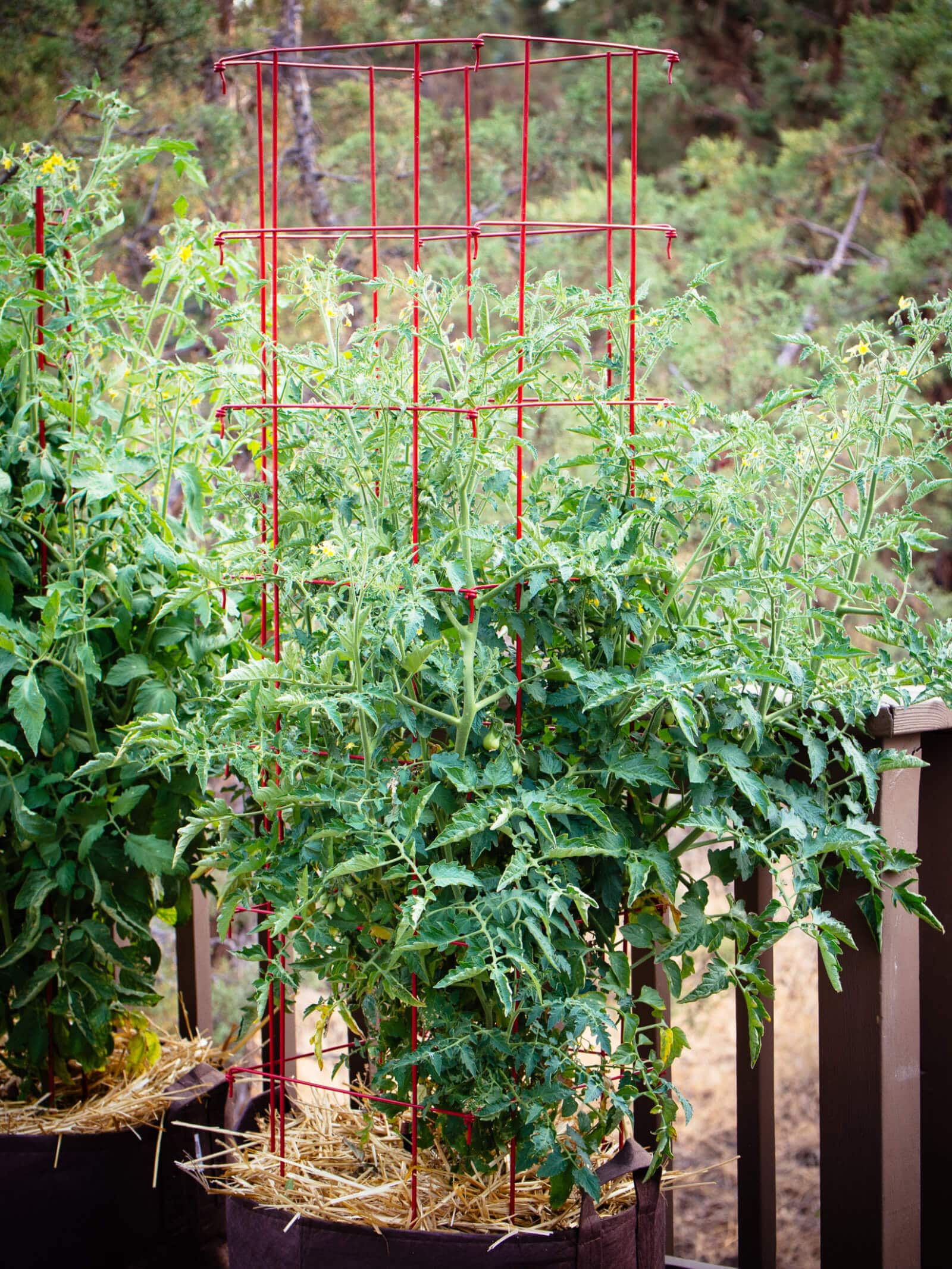 Container tomatoes mulched with straw