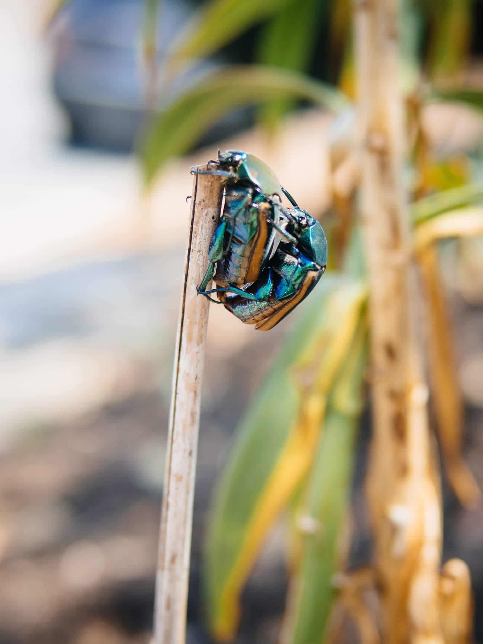 Organic pest control 101: how to get rid of fig beetles naturally