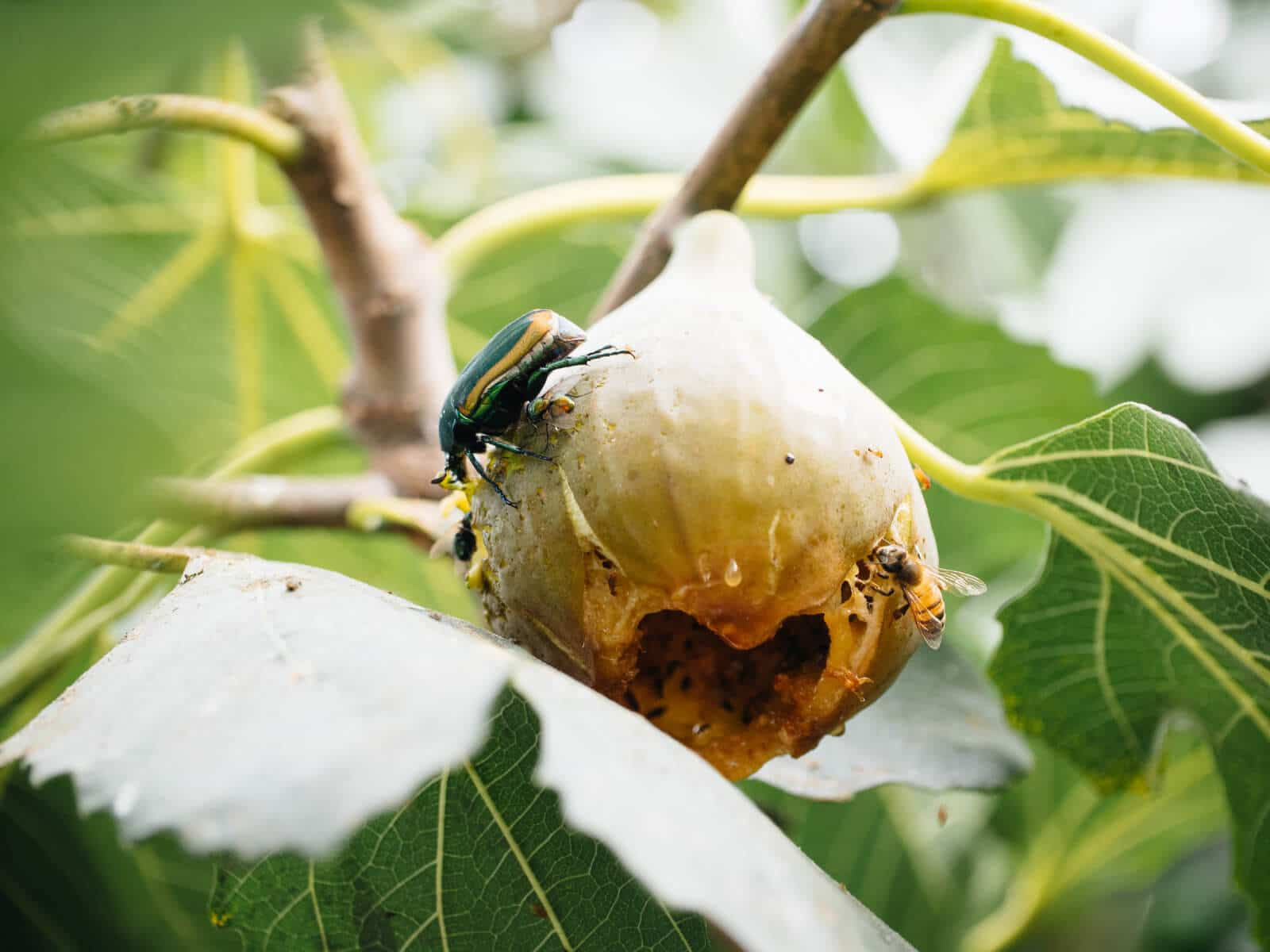 Fig beetle feeding on overripe fig