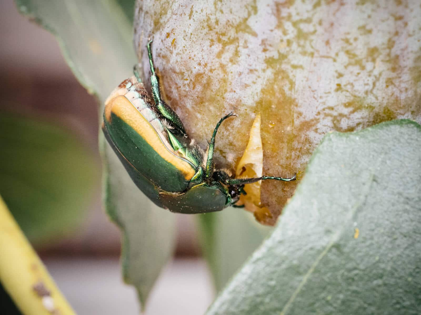 Figeater beetles are attracted to soft, overripe fruit with thin skins