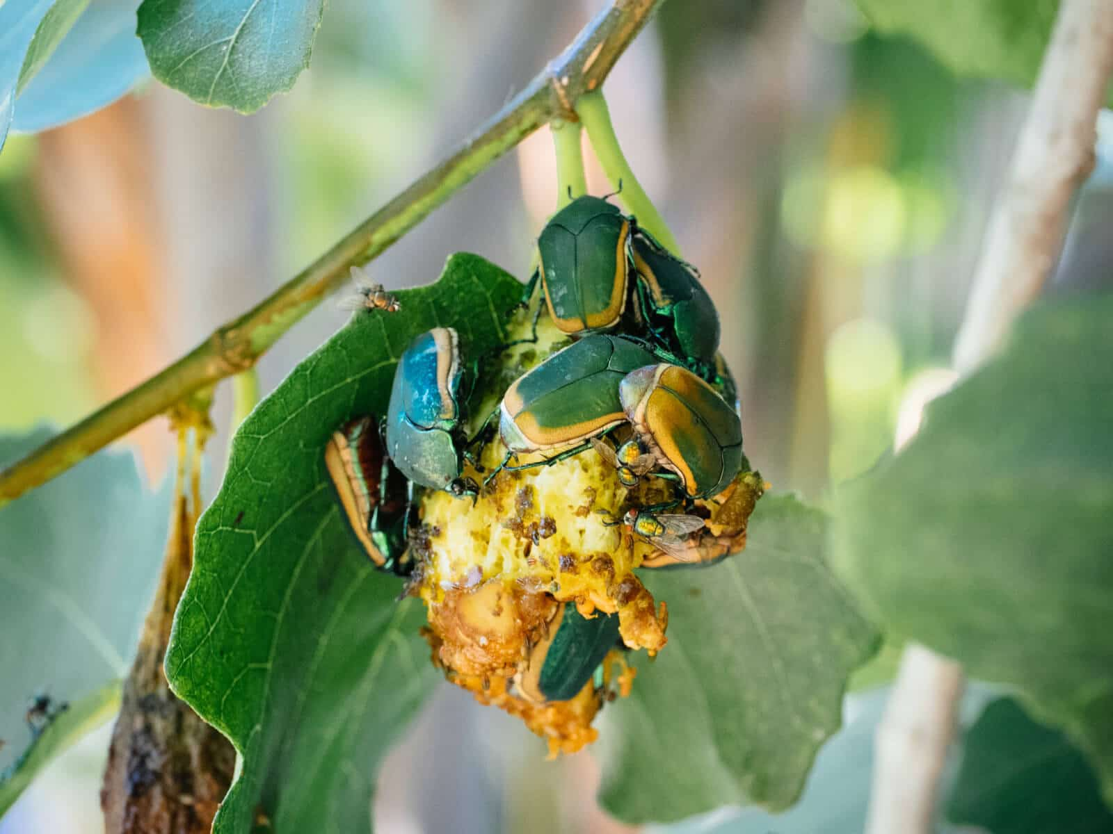 Fig beetles clustered on a rotting fig