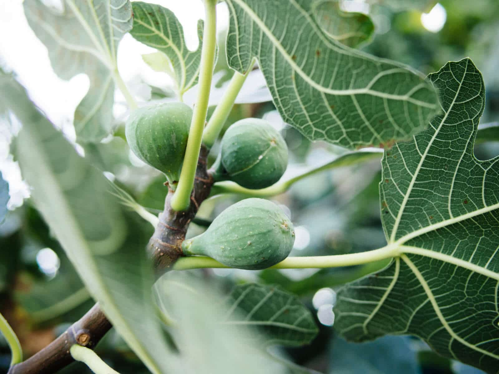 Harvest your fruits frequently to keep fig beetles off them