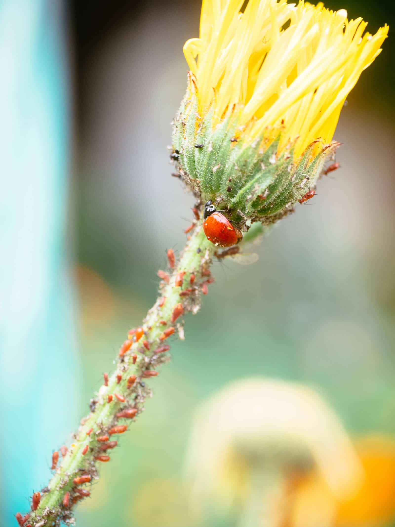 Ladybugs are natural predators of aphids