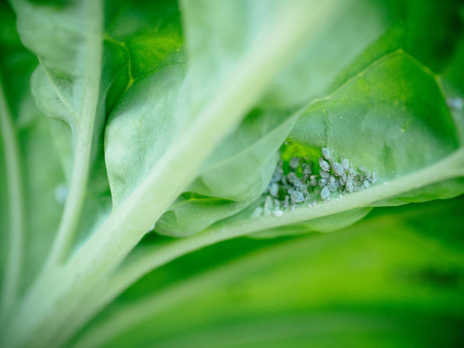 Control aphids naturally without toxic chemicals