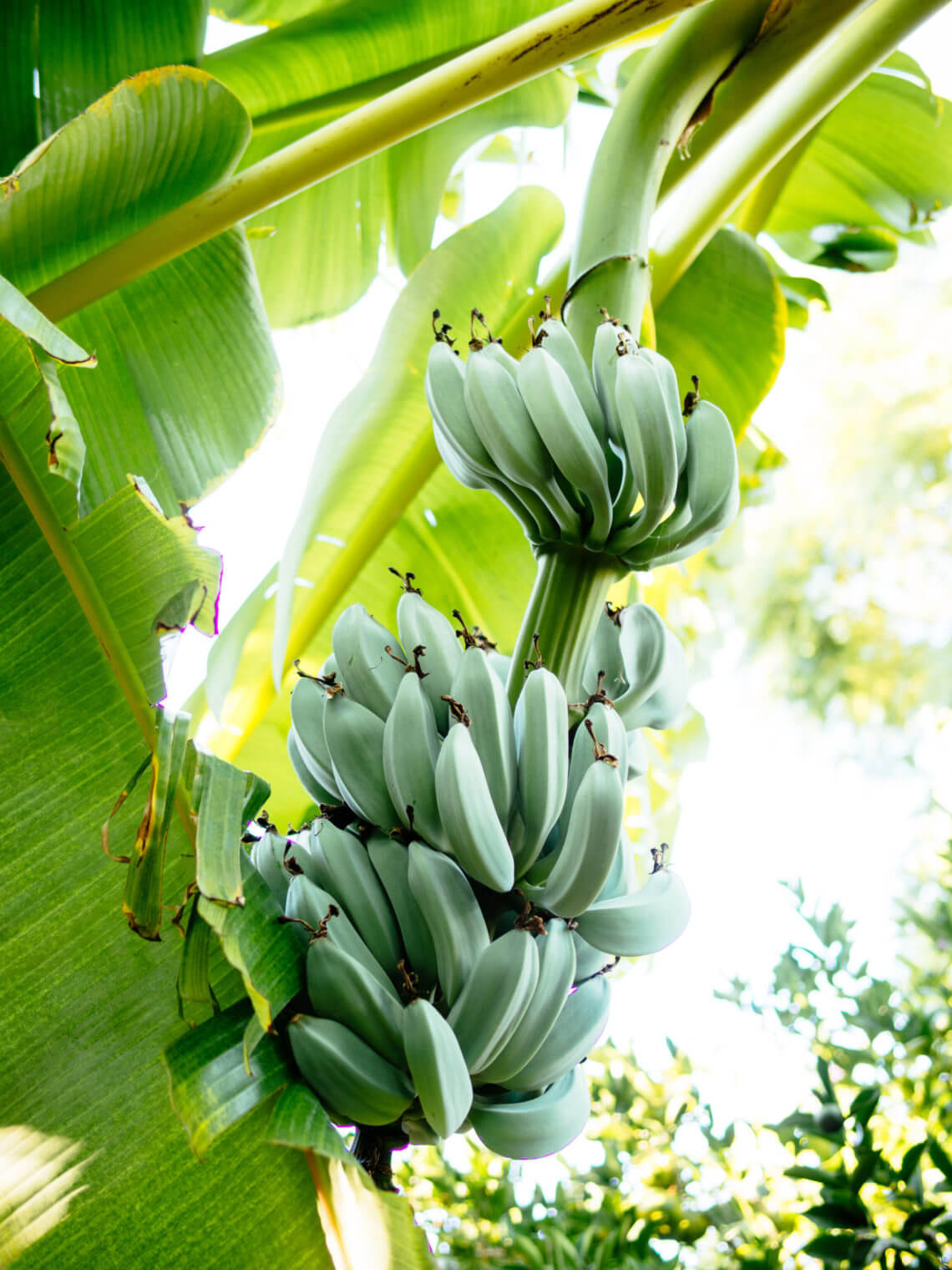A banana is an herb, berry, and other little-known fruit facts